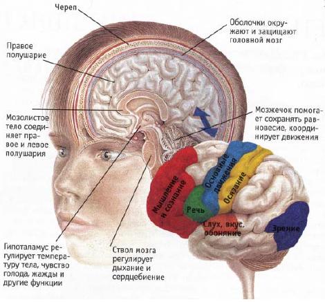 Мозг устройство схема